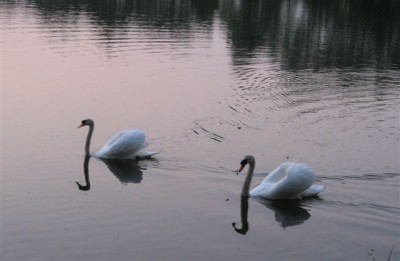 Swans at Mill Retreat Centre